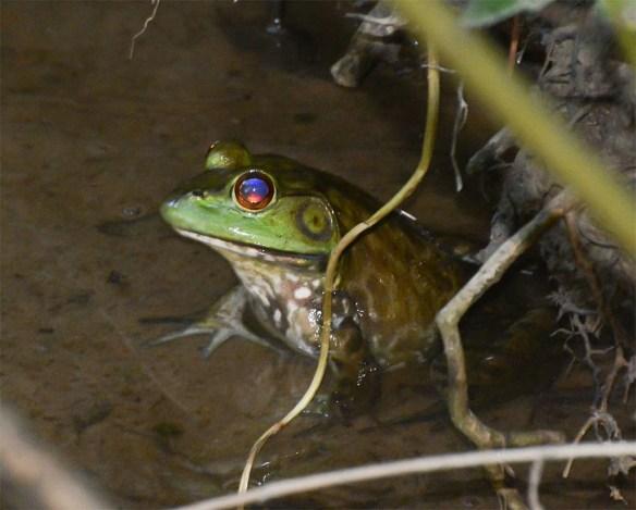 Bullfrog 4