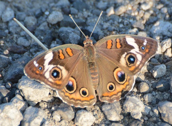 Common Buckeye 9