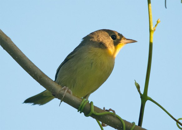 Common Yellowthroat Warbler 2016-6