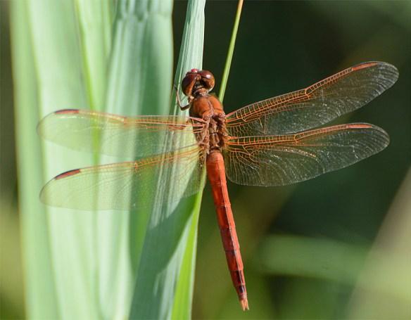 Dragonfly 85
