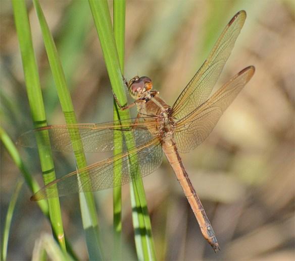 Dragonfly 86