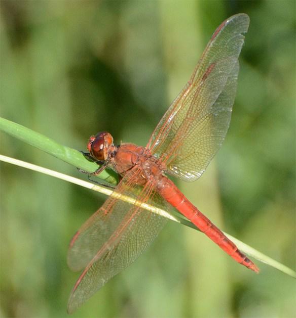 Dragonfly 87