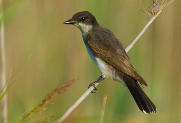 Eastern Kingbird 2016-36