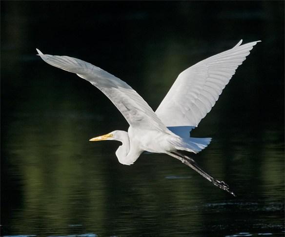 Great Egret 2016-42