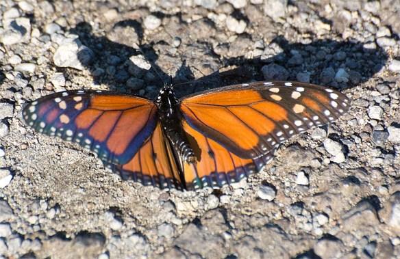 Monarch 30