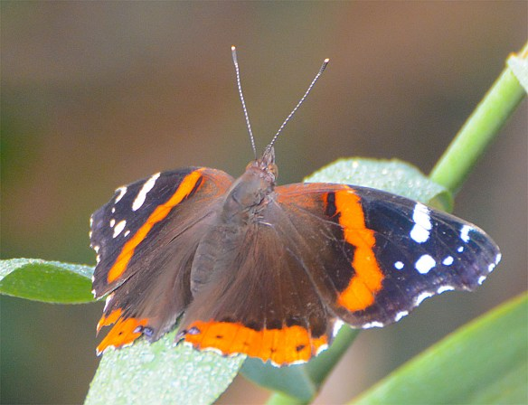 Red Admiral 5