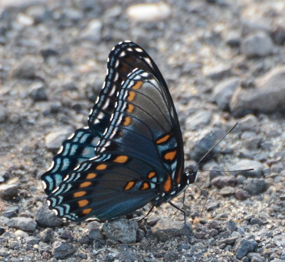 Red Spotted Purple 8