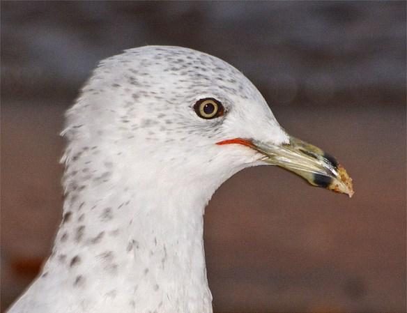 Ring Billed Gull 2016-8