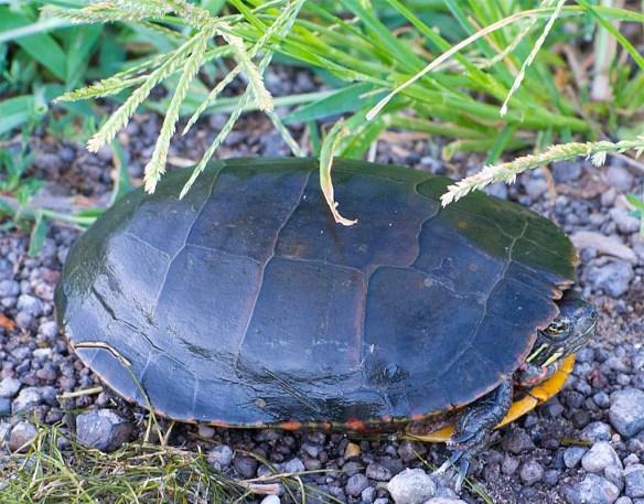 Turtle 67
