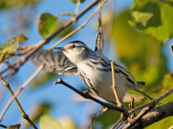 black-and-white-warbler-2016-6