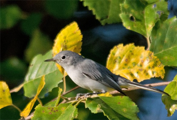blue-gray-gnatcatcher-2016-11