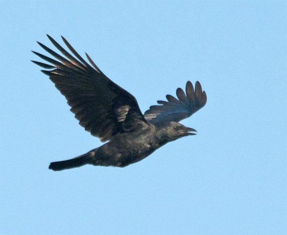 crow-2016-17