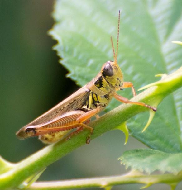 grasshopper-215