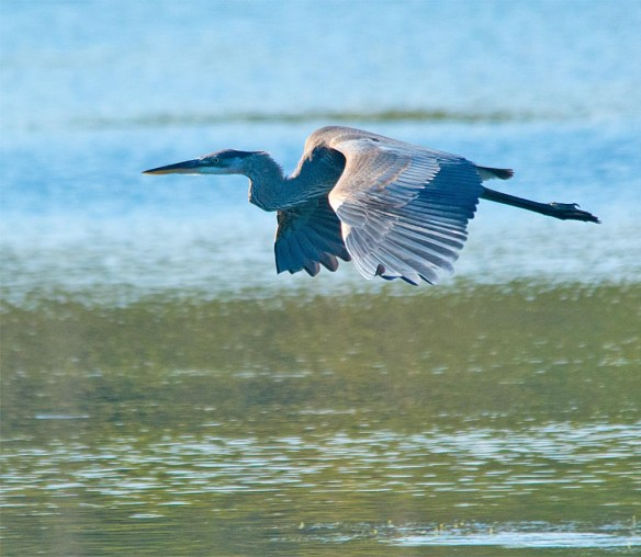 great-blue-heron-2016-77