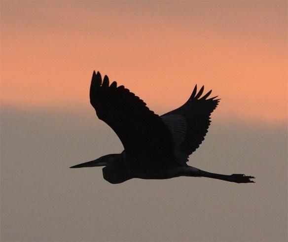great-blue-heron-2016-78