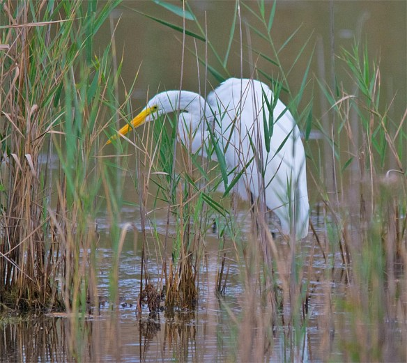 great-egret-2016-64