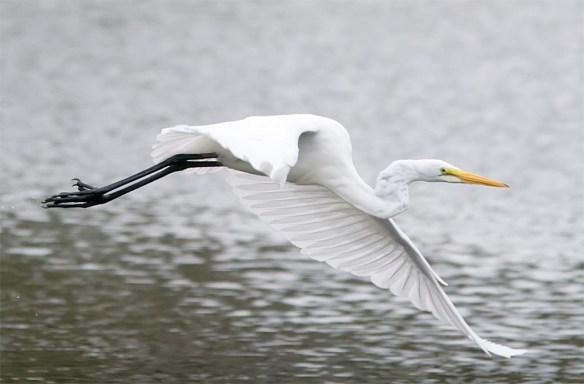 great-egret-2016-66