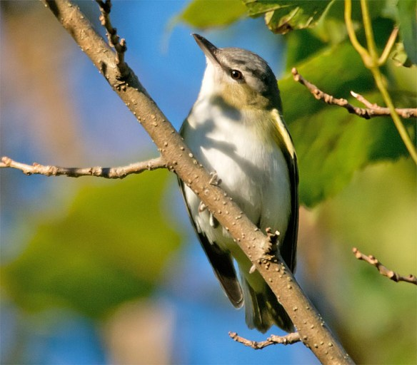 red-eyed-vireo-2016-6