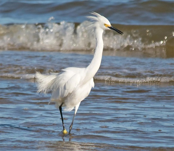 snowy-egret-2016-125