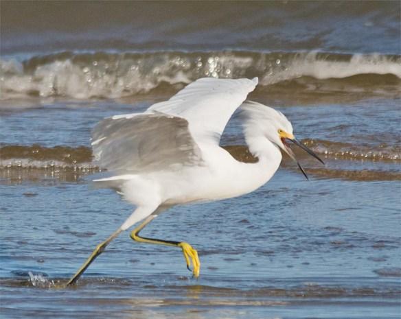 snowy-egret-2016-127