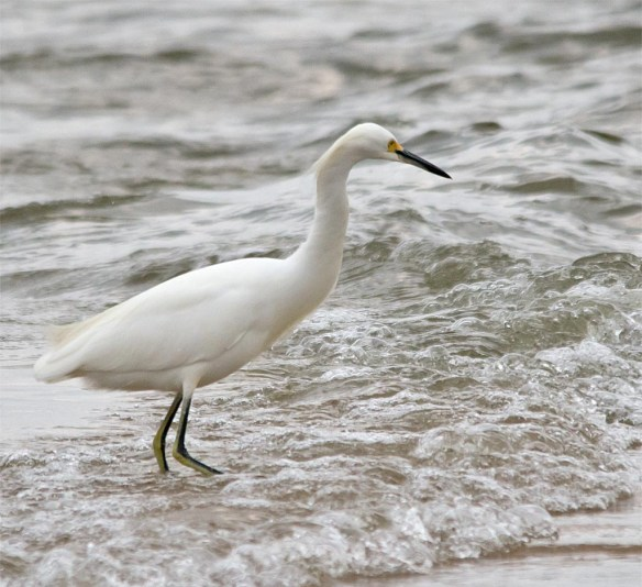 snowy-egret-2016-136