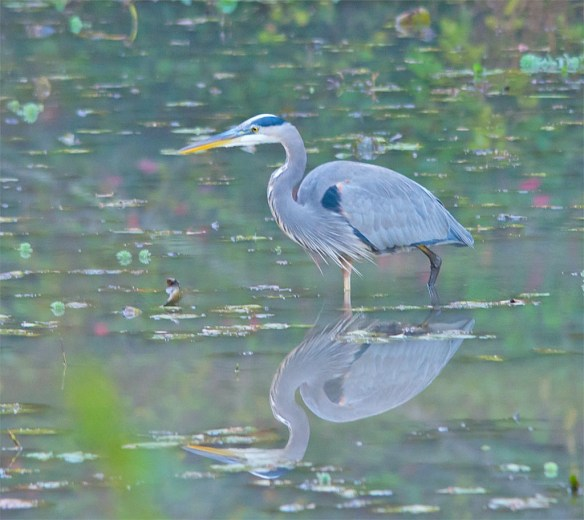 great-blue-heron-2016-83