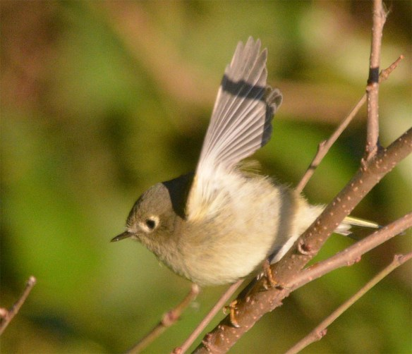 ruby-crowned-kinglet-2016-1