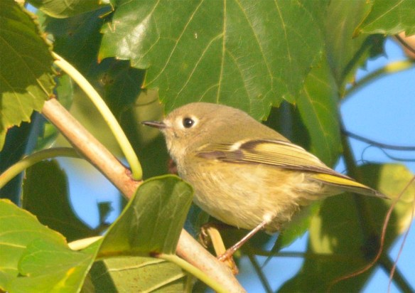 ruby-crowned-kinglet-2016-3