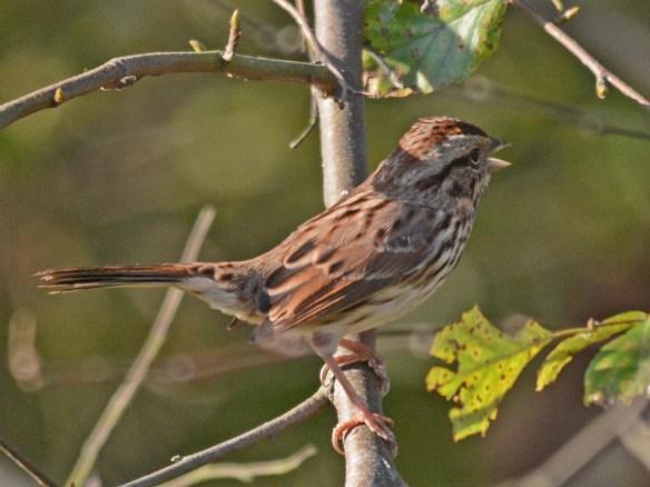 song-sparrow-2016-13
