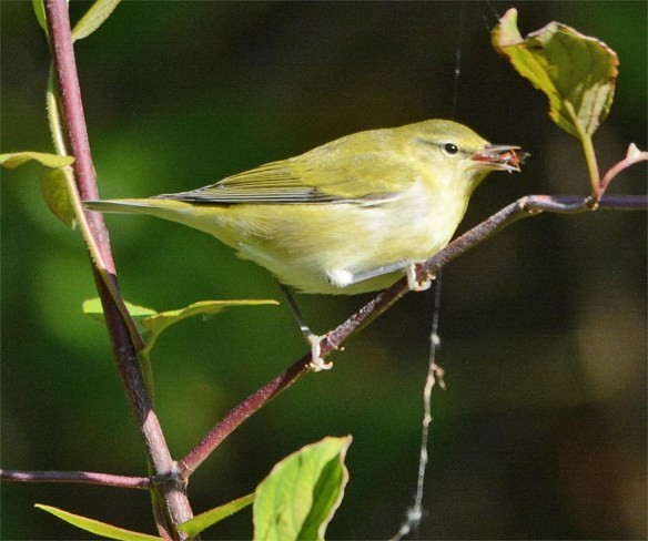 tennessee-warbler-2016-3