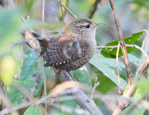 winter-wren-2016-1