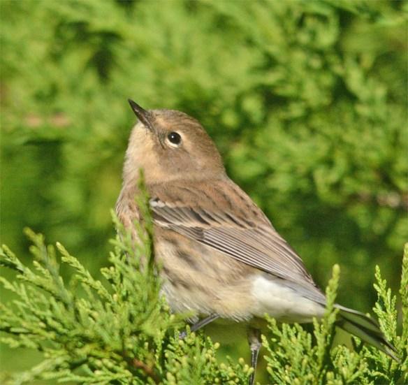 yellow-rumped-warbler-2016-19