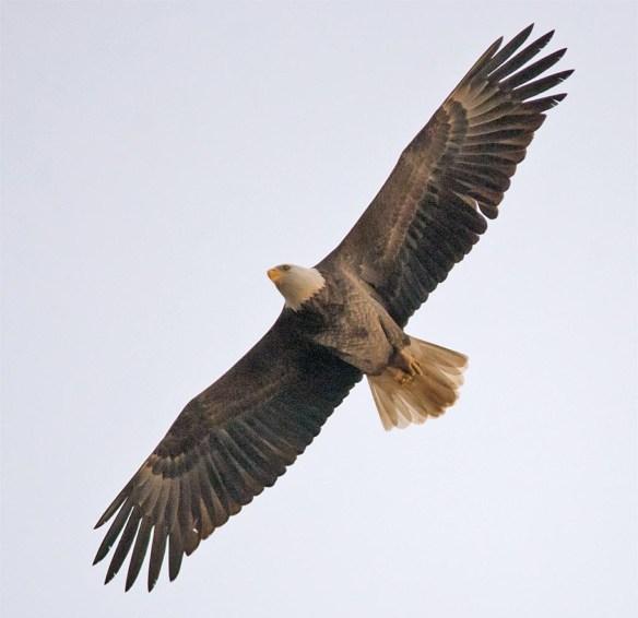 bald-eagle-2016-95