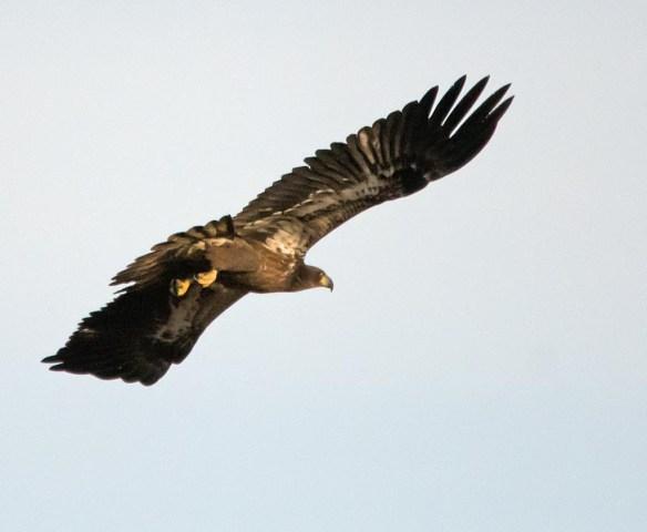 bald-eagle-2016-98