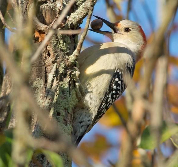 downy-woodpecker-2016-12