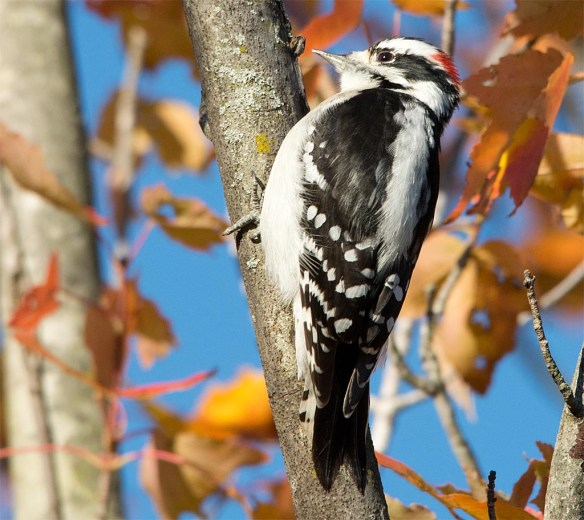 downy-woodpecker-2016-13