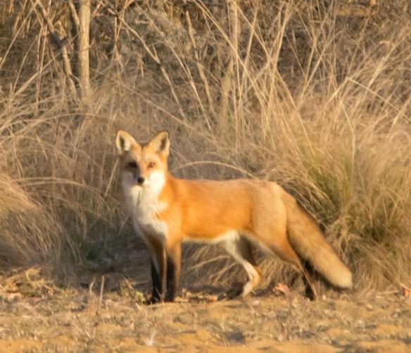 fox-64