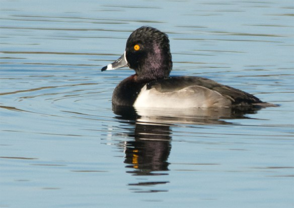 ring-necked-duck-2016-17