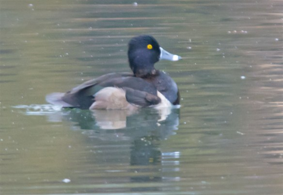 ring-necked-duck-2016-22