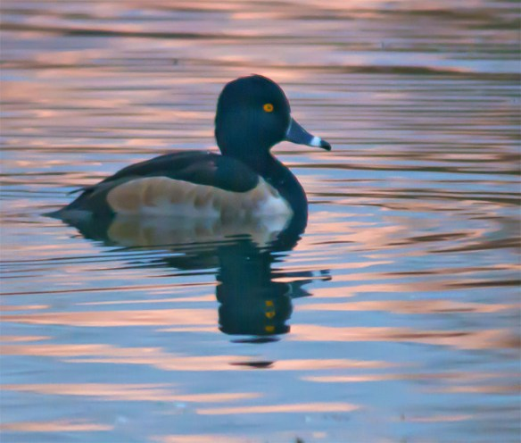 ring-necked-duck-2016-24