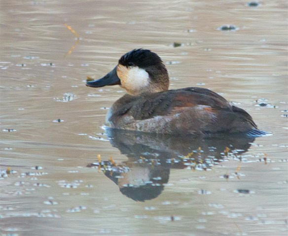 ruddy-duck-2016-17