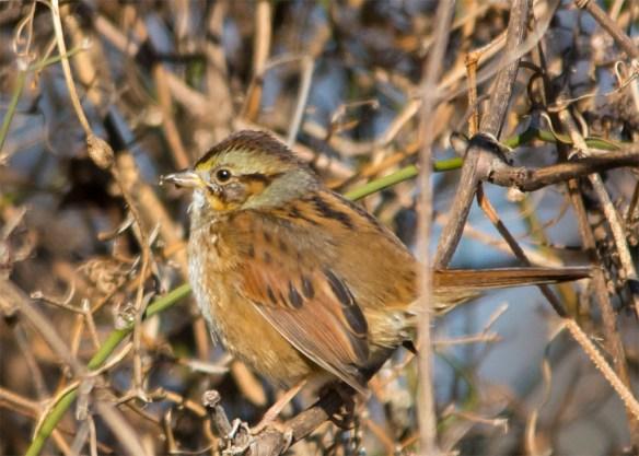 swamp-sparrow-2016-11