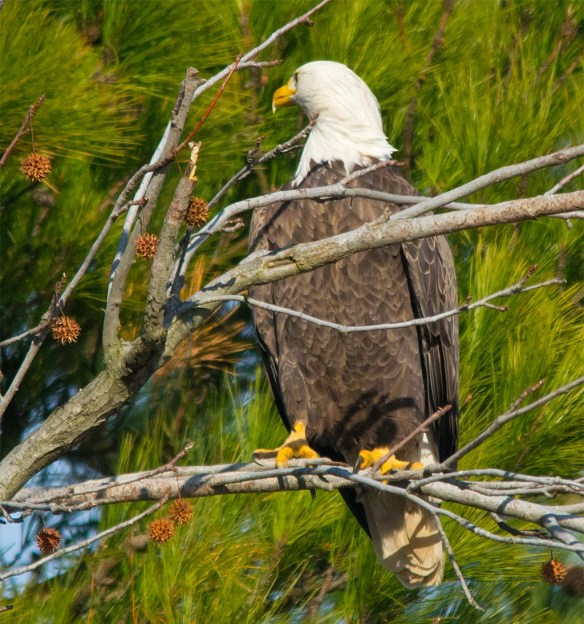 Bald Eagle 2016-116