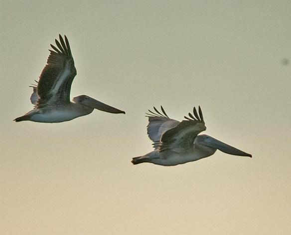 brown-pelican-2016-2