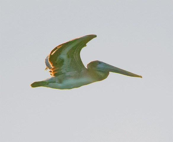 brown-pelican-2016-3