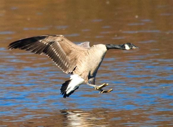 Canada Goose 2016-42