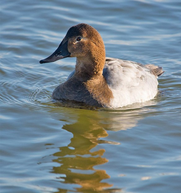 Canvasback 2016-23