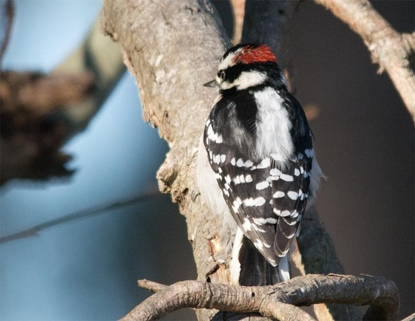 Downy Woodpecker 2016-16