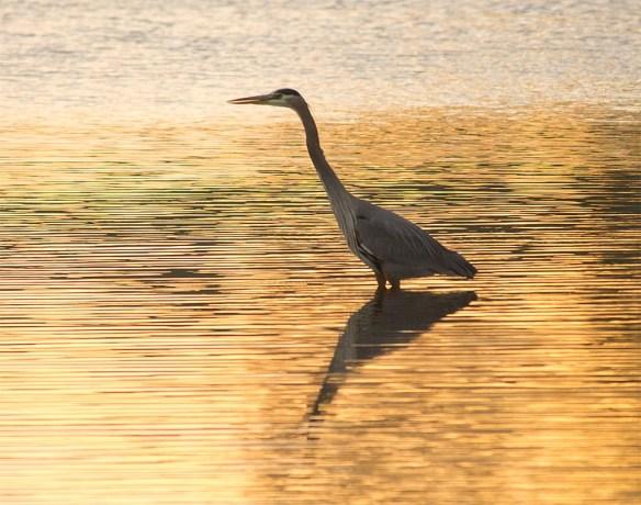 Great Blue Heron 2016-108