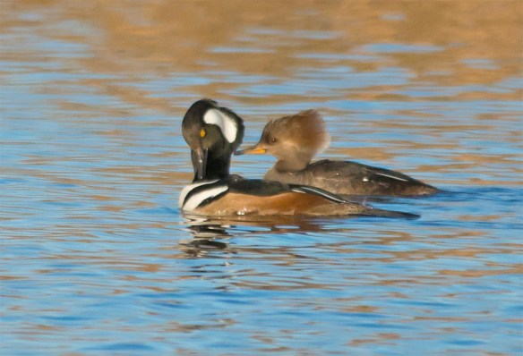 Hooded Merganser 2016-13